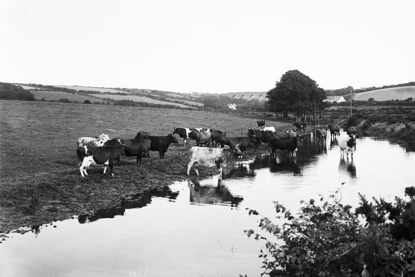A distant view of Chacewater Viaduct from the Blackwater side. In the foreground a herd of cows stand by a stream. Photographer: John Charles Burrow