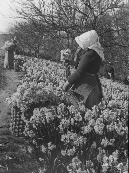 Four women picking narcissi in West Cornwall or the Isles of Scilly 1890s. Photographer: Unknown