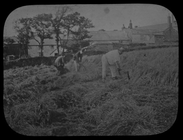 Three men cutting corn in a field with cottages in the background. Photographer: Unknown
