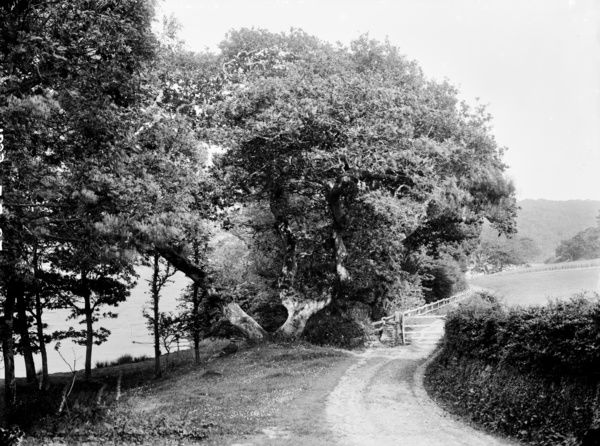 Penrose Walk, looking down the lane to a gate and fence. Photographer: W. C. Hughes