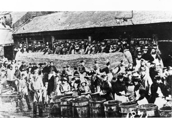 Bulking or packing pilchards at Maid Besty's Cellar at Porthmeor. Photographer: Unknown