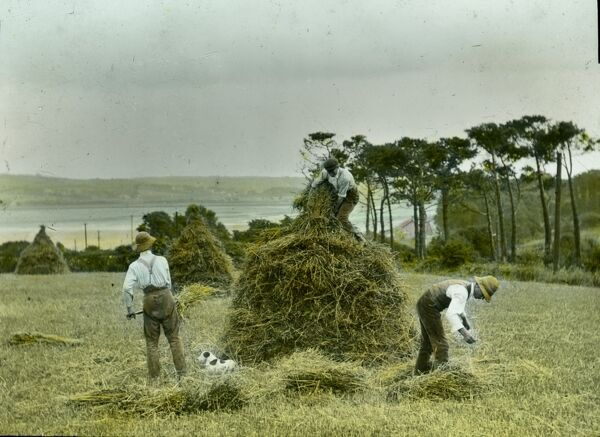 Three men building a Cornish Mow (rick) in a field overlooking a Cornish estuary while the dog takes it easy. Probably on Rock side of the Camel estuary looking across the Camel river to the railway line running to Padstow, off the picture to the right