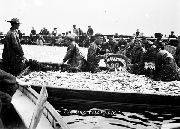 Fishermen Tucking pilchards. Filling sein boats with fish using baskets. Photographer: Unknown