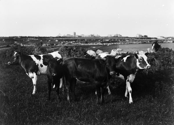 Cows in foreground with Sennen Churchtown in distance. Photographer: Herbert Hughes