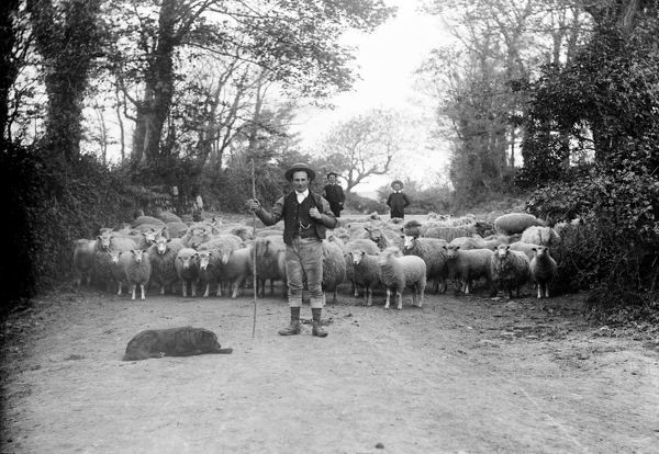 A shepherd followed by flock of sheep in a leafy cornish lane
