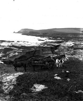 Collecting kelp, Widmouth Bay, St Merryn, Cornwall. Early 1900s