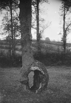 Curious tree formation at Idless, Cornwall. Early 1900s