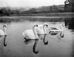 Group of mute swans in Swanpool, Falmouth, Cornwall. Around 1925