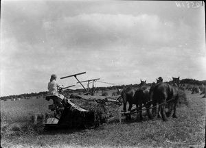 Member of the First World War Women's Land Army cutting wheat. Cornwall. Around 1917