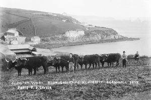 Oxen at work, Mevagissey, Cornwall. 1892