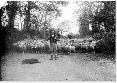 A shepherd followed by flock of sheep in a leafy cornish lane. Photographer: Unknown