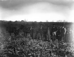 Cutting broccoli, near Penzance, Cornwall. Early 1900s