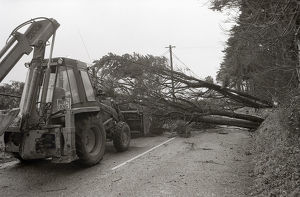 Fallen Tree, Fowey, Cornwall. January 1990