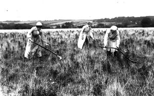 Three First World War Women's Land Army girls scything hay or rushes in a field