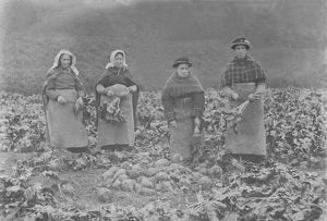 Harvesting mangolds, Cornwall. Around 1900 or earlier
