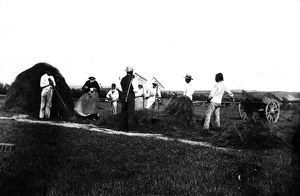 Haymaking, near Padstow, Cornwall. Around 1900