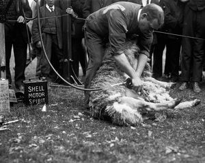 Sheep shearing, Royal Cornwall Show, Camborne, Cornwall. 9th-10th June 1915